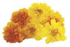 Yellow tagetes flowers --- Image by © Creativ Studio Heinemann/Westend61/Corbis