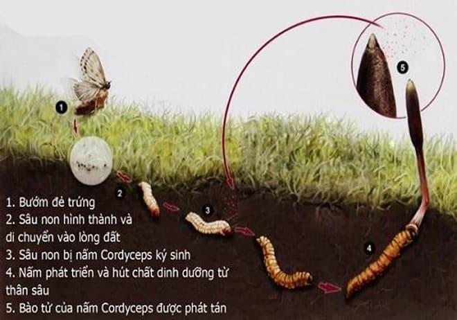 Nước đông trùng hạ thảo dạng nước Dongchoonghacho – Well Being Life 100mlx10 lọ